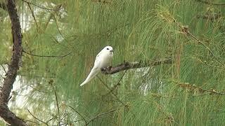 シロアジサシ(2)飛翔・♂鳴く・♀と幼鳥(ロタ島) - White Tern - Wild Bird - 野鳥 動画図鑑