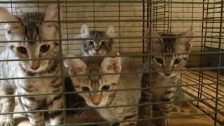 Desert Lynx - Hybrid Kittens -  Polydactyl - Exotic & Rare 2016