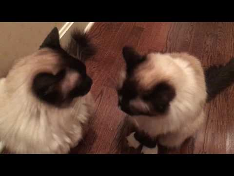 Compilation of 12-Year Old Ragdoll Cat Murphy Meowing - Floppycats