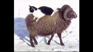 Cat taking a ride on a sheep
