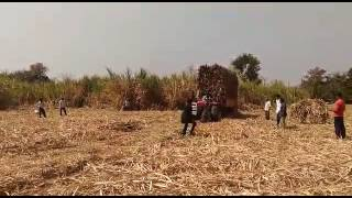 Massey Ferguson 9500 sugarcane haulage with 18 ton sugarcane