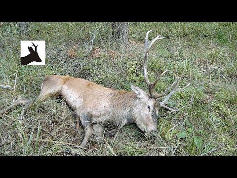 Stalking medal red deer during the rut - Rykowisko 2015 - Hirschjagd in Polen