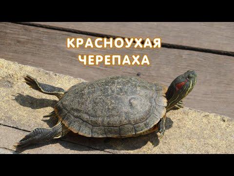 Красноухая черепаха (Trachemys scripta) описание, кормление, содержание