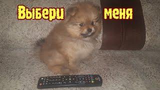 Купить щенка шпица/Шпиц маленький мишка
