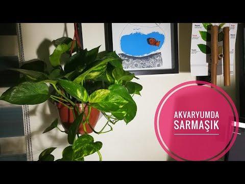 Akvaryum İçin Sıradışı Bitki: Pothos