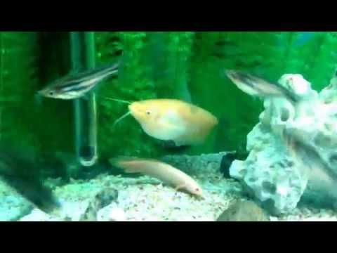 Rare Catfish Ompok Bimaculatus Albino.