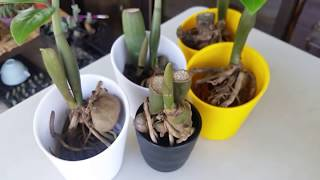 Soil and Water Propagation of Zz Plant Stem Cutting