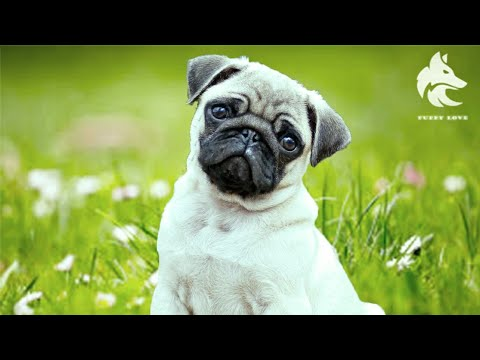 Pug dog funny and cute compilation 2019