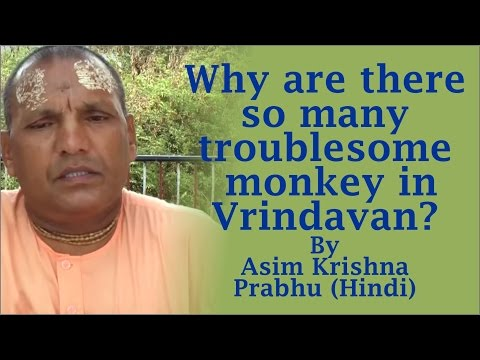 Why are there so many troublesome monkey in Vrindavan? by Asim Krishna Prabhu (Hindi)