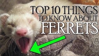 TOP 10 THINGS YOU NEED TO KNOW ABOUT FERRETS!! 2018 [Not Clickbait]