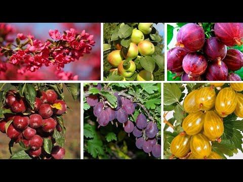 Интересные новинки среди плодовых культур сезона - 2017!
