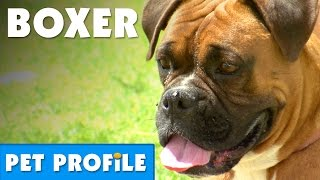 Boxer Pet Profile | Bondi Vet