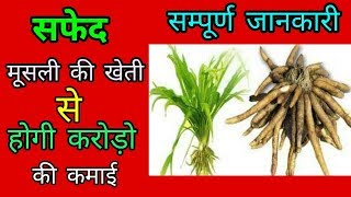 सफेद मूसली की खेती  safed musli farming  in india  सफेद मूसली की खेती कैसे करें