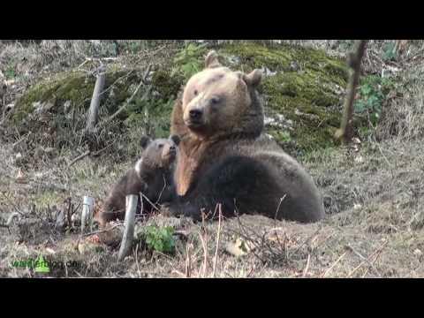 Nationalpark Bayerischer Wald: Bären-Babys ganz nah bei Mama