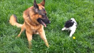 Scout The Poodle Puppy Playing With A German Shepherd