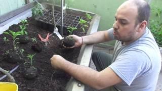 Como transplantar mudas de legumes e hortaliças.