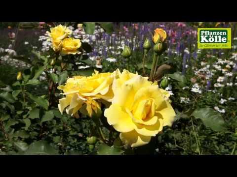 Gartengestaltung rosengarten i pflanzen k lle youtube - Gartengestaltung rosengarten ...