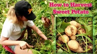 Cover images HOW TO HARVEST CAMOTE THE EASY WAY (basic steps and techniques)