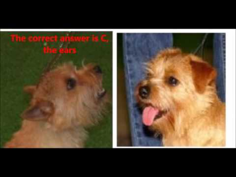 Dog Trivia: Norfolk vs Norwich terrier dog