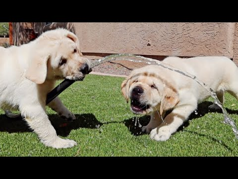 Labrador Puppies VS. The Water Hose!