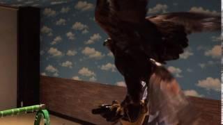 イヌワシとソウゲンワシのハイブリッド、翔くんを女性スタッフが調教。...