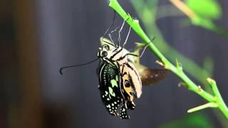20140817 精彩的無尾鳳蝶羽化了.
