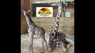 Animal Adventure Park Giraffe Cam thumbnail