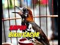 Anis Kembang Macet Bunyi Langsung Gacor Dengar Suara Pancingan Ini  Mp3 - Mp4 Download
