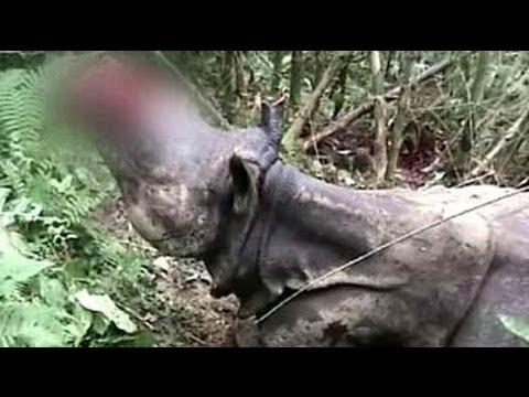 Rhinos under attack in Kaziranga, three poached in two days