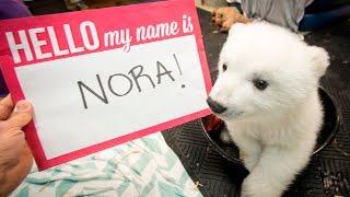 Polar Bear Cub Gets Her Name – Meet Nora!