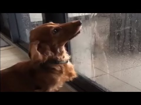 Dachshund tries to catch water from inside glass door