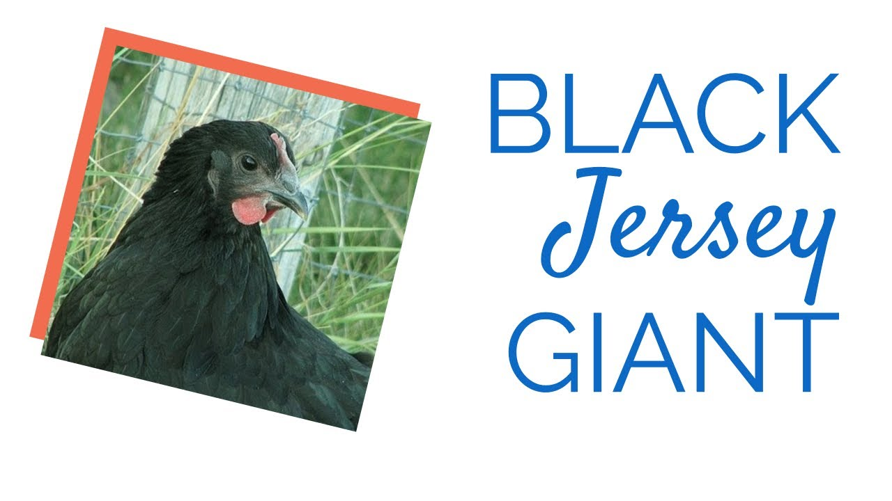 Black Jersey Giant Chicken By Chickens For Backyards