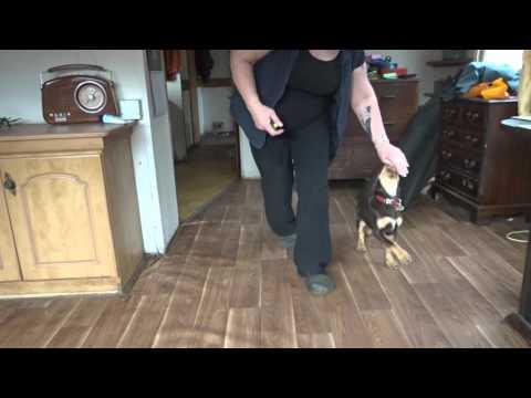 Kelpie puppy 11 weeks starting her heelwork training