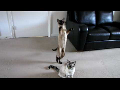 SIAMESE CAT STANDING UPRIGHT and WALKING BACKWARDS  - FUNNY, CUTE
