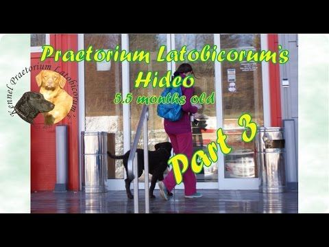 Curly Coated Retriever puppy PLs Hideo training - part 3