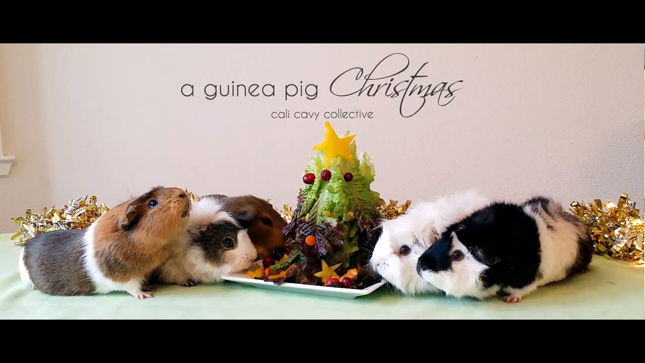 A Guinea Pig Christmas - YouTube