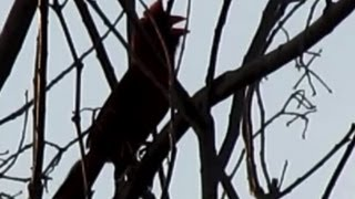 Cardinal Singing - Shadow Puppet!