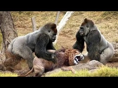 gorilla vs lion real fight