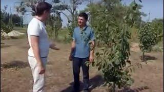 видео Газоны под деревьями