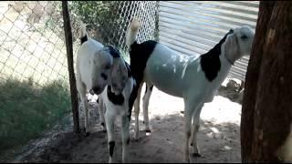 Kadiwala goat farm