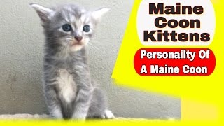 Maine Coon Kittens  Personality of Maine Coon