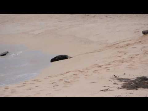 Hawaiian Monk Seal pup