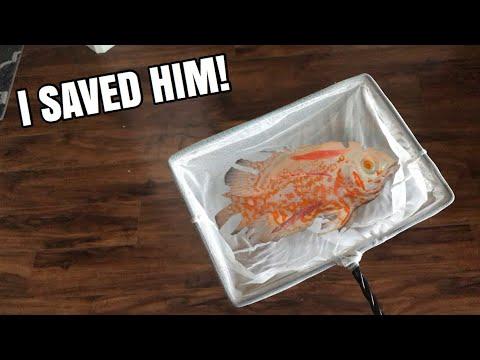 LEMON OSCAR FISH RESCUE, NEARLY DIED!