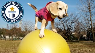 Fastest dog on a ball - Guinness World Records
