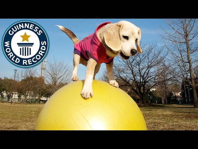 Fastest dog on a ball – Guinness World Records