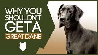 GREAT DANE! 5 Reasons you SHOULD NOT GET A Great Dane Puppy!