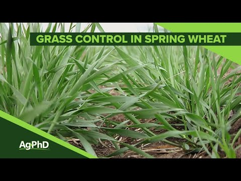 Grass Control In Spring Wheat (From Ag PhD Show #1098 - Air Date 4-21-19)