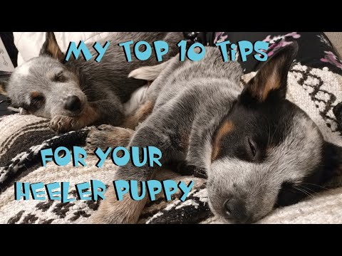 Australian Cattle Dog ~ My TOP 10 TIPS For Your Heeler Puppy ~
