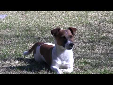 Jack Russell Terrier playing and jumping