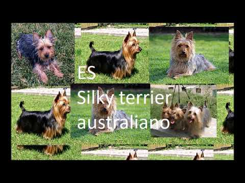 ES Silky terrier australiano